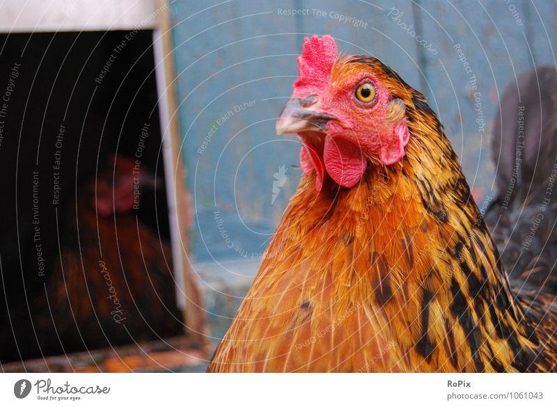 Hühnerhof Lebensmittel Fleisch Ei Suppenhuhn Hühnerei Landwirtschaft Forstwirtschaft Handel Tier Haustier Nutztier Tiergesicht Huhn henne Legehenne hühnerhof