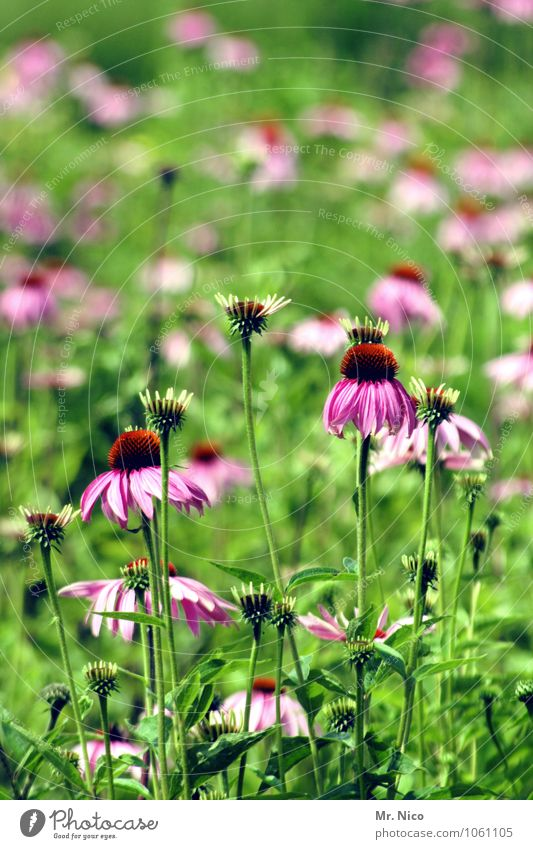 dufte Umwelt Natur Frühling Sommer Pflanze Blume Gras Garten frisch grün violett Sonnenhut Zierpflanze Blütenblatt Korbblütengewächs Heilpflanzen türkis