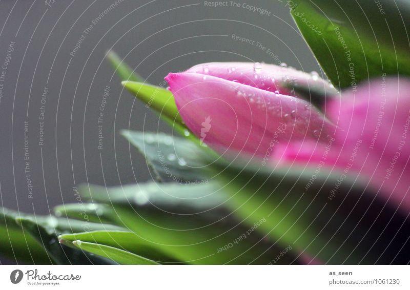 Tulpen Natur Pflanze schön grün Farbe Sommer Blume Blatt Leben Frühling Blüte Feste & Feiern rosa Lifestyle glänzend Geburtstag