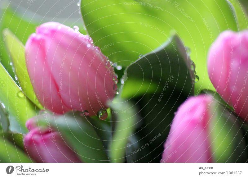 Frische Tulpen Natur Pflanze grün Farbe Sommer Blume Blatt Leben Frühling Blüte Garten rosa glänzend Park Wachstum frisch