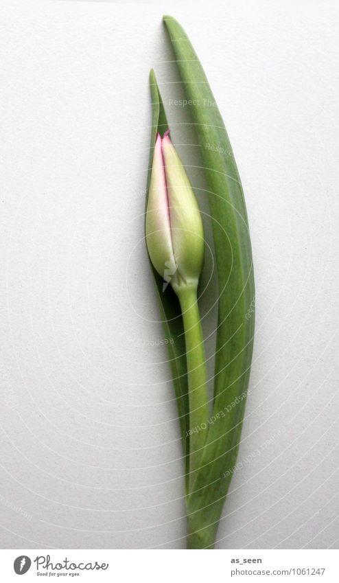 Wachstum Pflanze schön grün Blume Blatt Leben Bewegung Frühling Blüte Linie rosa Design elegant frisch ästhetisch