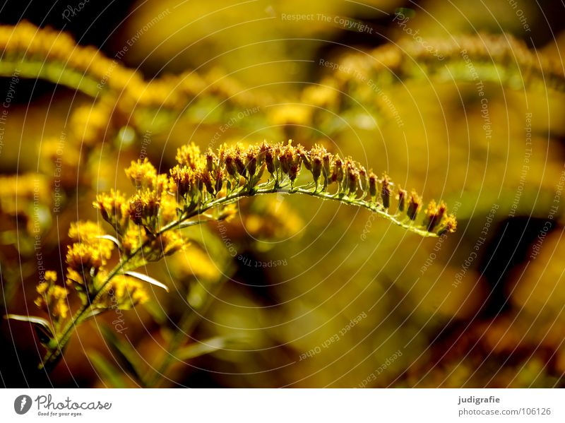Wiese Blüte gelb glänzend Wachstum gedeihen Umwelt Pflanze schön Herbst Sommer Farbe Natur gold Heilpflanzen Unkraut