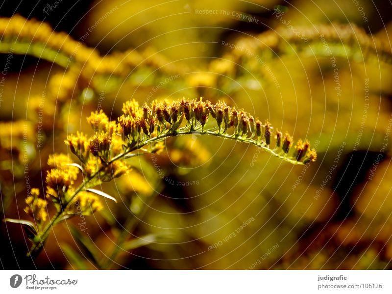 Wiese Natur schön Pflanze Sommer gelb Farbe Herbst Blüte glänzend Umwelt gold Wachstum gedeihen Heilpflanzen Unkraut