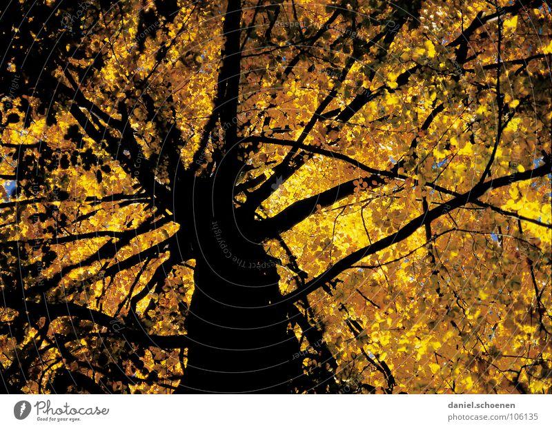 neulich unterm Baum Natur Baum Blatt schwarz gelb Herbst Stimmung braun orange wandern Perspektive Ast Baumstamm Buche verzweigt
