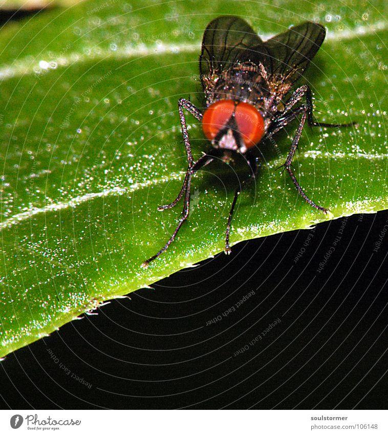 rote Augen Effekt... Insekt Tier Blatt Blume Beine Facettenauge Quadrat dunkel Erholung Makroaufnahme Nahaufnahme Fliege Flügel Blattgrün Maserung sitzen