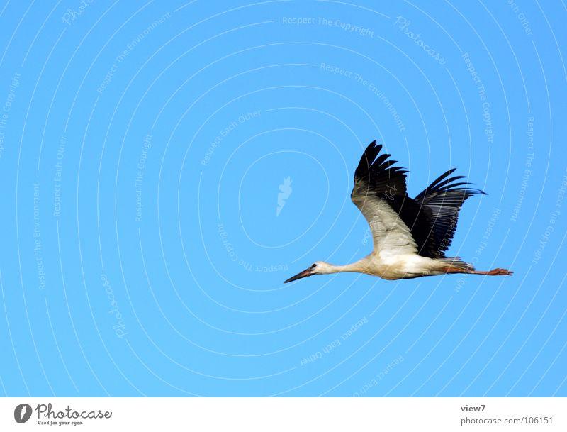 Der Storch Himmel weiß Sommer Winter Wolken Erwachsene schwarz Herbst grau Wärme Frühling Luft Vogel groß Flügel Feder