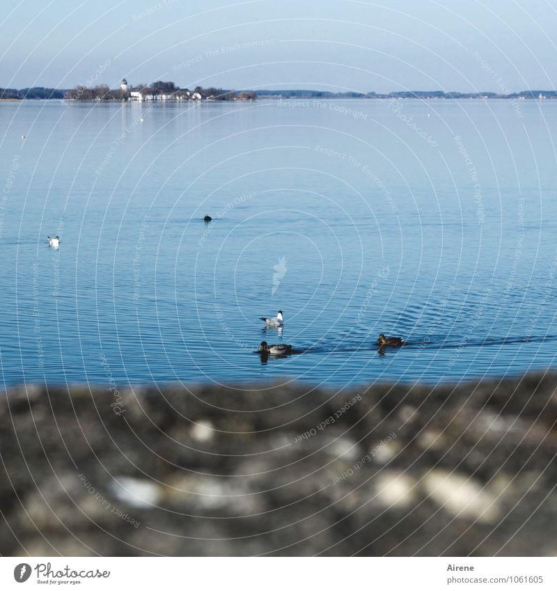 drüben... Ferien & Urlaub & Reisen Ferne Landschaft Wasser Himmel Schönes Wetter Seeufer Insel Fraueninsel Chiemsee Vogel Entenvögel Blesshuhn Möwe Wasservogel
