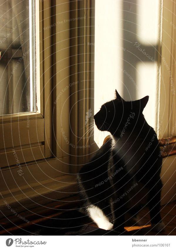 Schwarze Katz' Katze schwarz Fenster Silhouette Aussicht Oberlippenbart Säugetier Schatten Tür Profil Weisse Pfote