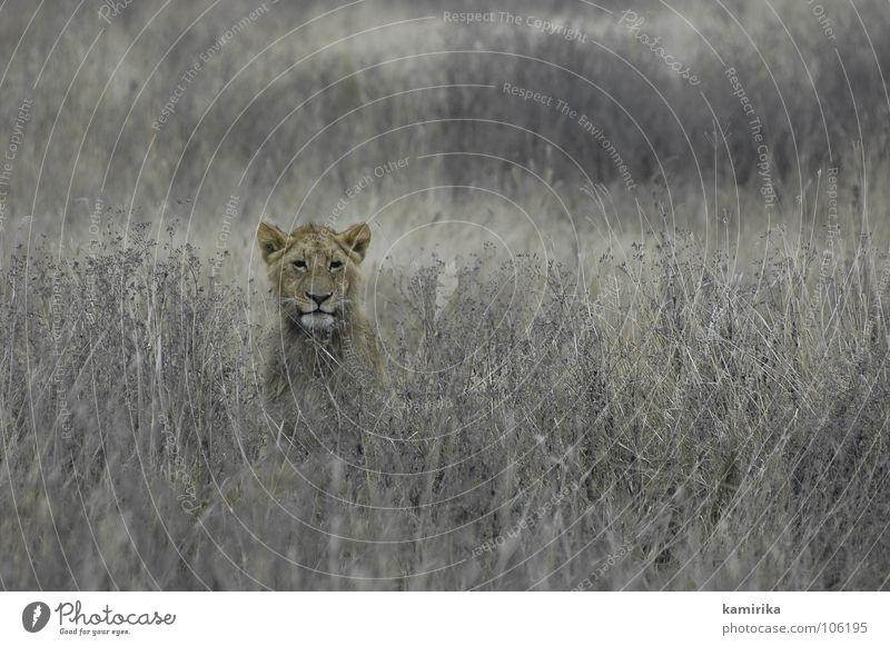 lions field Afrika Maassai Mara Nationalpark Safari Löwe Katze Tarnung Natur Serengeti Raubkatze africa kenya animal cat verstecken hide hidden Jagd tanzania