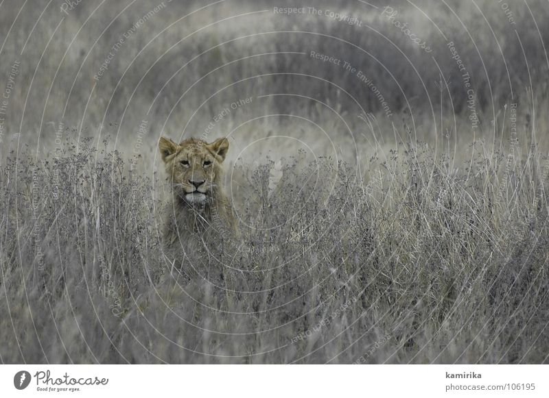 lions field Natur Katze Kenia Afrika Wildtier Jagd Tansania verstecken Löwe Afrikaner Safari Nationalpark Tarnung Raubkatze Serengeti Massai