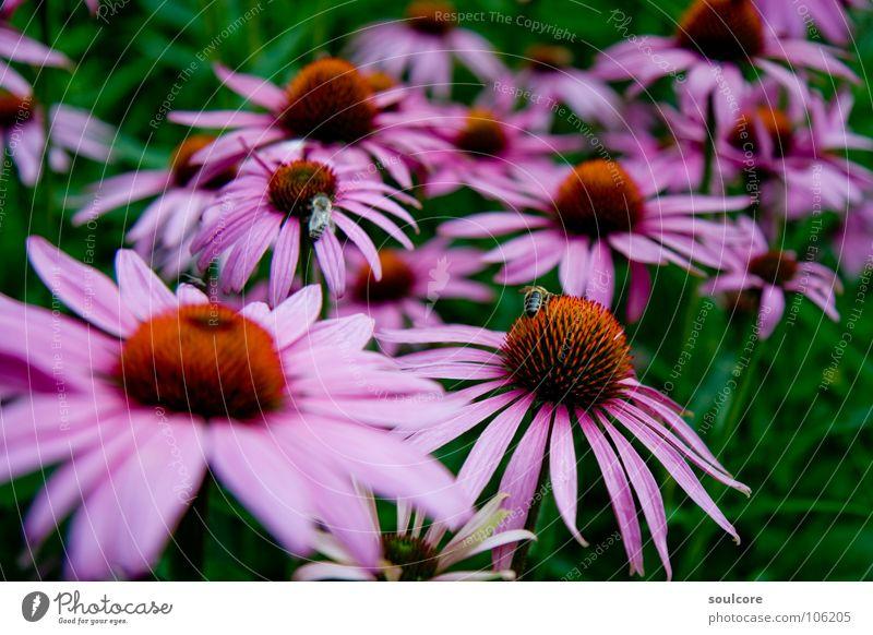 Sea of Flowers Blume Sommer rosa Biene Hummel Ruhrgebiet