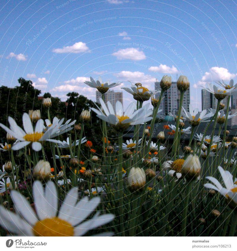 Sommer auf dem Dach Blume Dachgarten Kamille gelb weiß Hochhaus Wolken Sommertag Lamm Altokumulus floccus Sonntag Sauberkeit Garten Park Himmel blau hoch