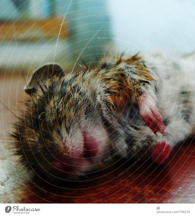 mausetot klein niedlich Katze vergangen töten Leiche Schnauze Fell Pfote Ohr Schnurrhaar Küche Trauer Tod Paradies Vergänglichkeit Verzweiflung Säugetier Maus