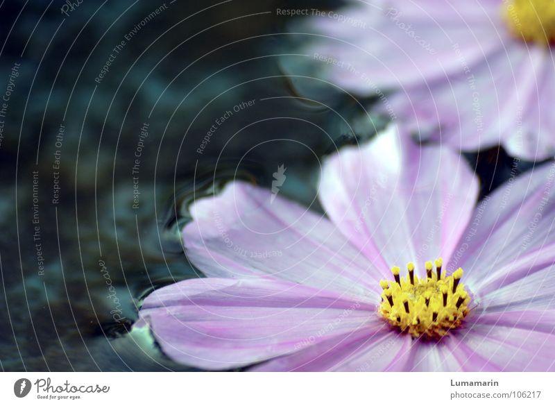 Der Sommer geht vorbei II Blume gepflückt Blüte Blütenblatt einzeln Wasseroberfläche Oberfläche kalt frisch Pfütze Rinnstein Abfluss Im Wasser treiben Strandgut