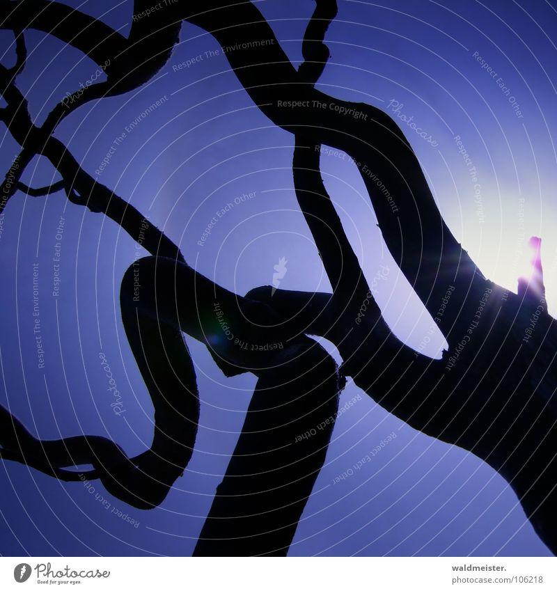 Äste im Gegenlicht Himmel Sonne blau Ast Strahlung krumm gekrümmt Windung Korkenzieher-Weide