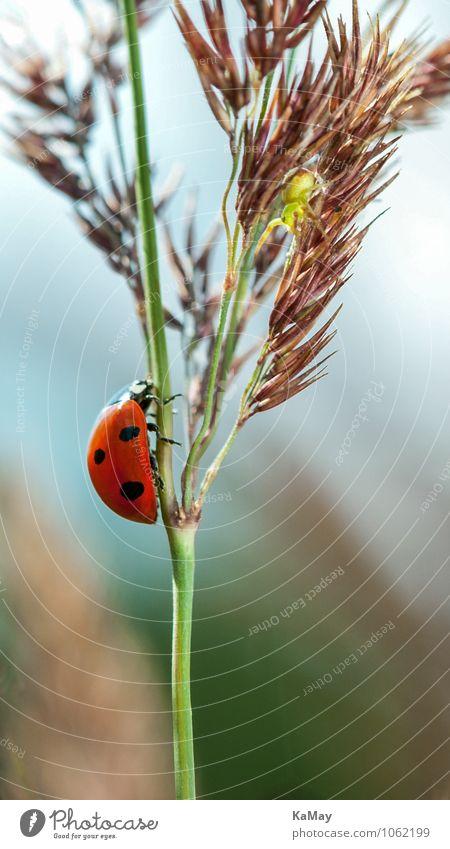 Glückskäfer Sommer Natur Pflanze Tier Schönes Wetter Gras Käfer Marienkäfer 1 krabbeln klein nah natürlich grün rot schwarz Einsamkeit Freiheit Motschekiebchen