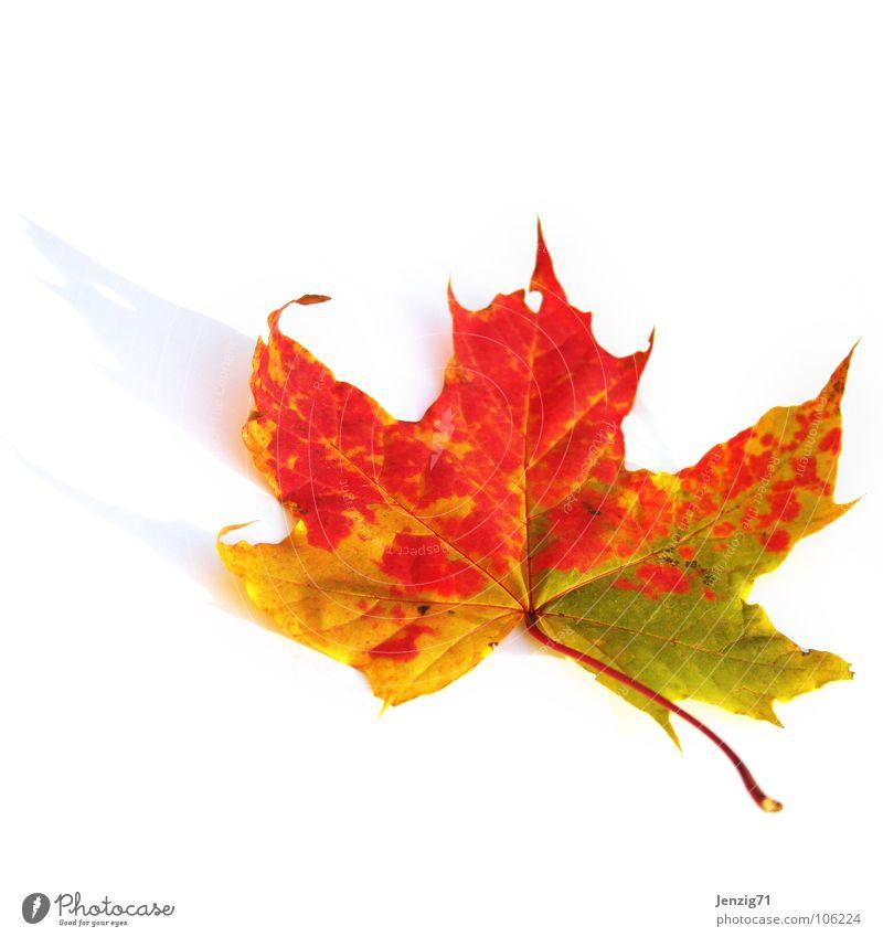 Sommer is vorbei. Blatt Baum Herbst mehrfarbig welk Ahorn Ahornblatt Park Laubbaum fallen Farbe herbstlich