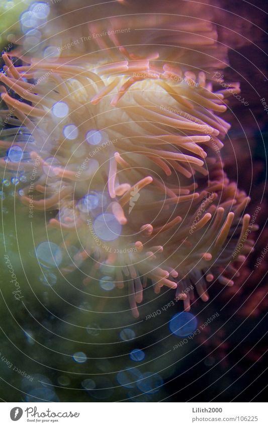 Underwater Queen Wasser Meer grün Pflanze Tier gelb rosa Aquarium Algen Korallen Anemonen Tiefsee