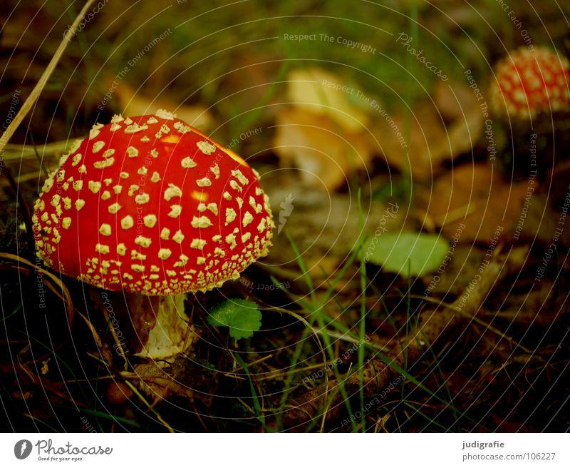 Herbstlich Natur rot Pflanze Farbe Blatt Umwelt Herbst Gras natürlich Dach Regenschirm Zweig Pilz Gift Waldboden Märchenwald
