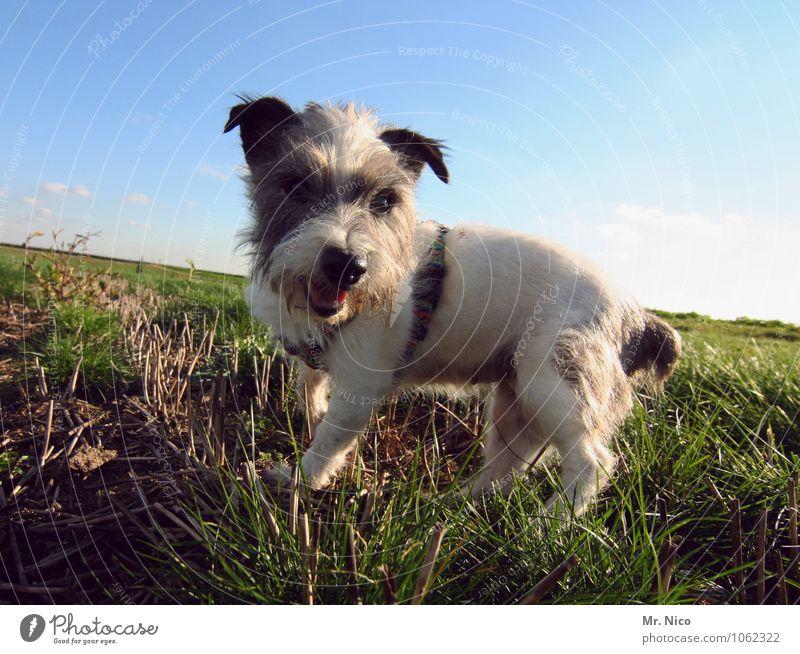ne möpp Umwelt Natur Landschaft Wolkenloser Himmel Schönes Wetter Gras Wiese Feld Haustier Hund klein weiß gefleckt Fell Jack-Russell-Terrier Mischling
