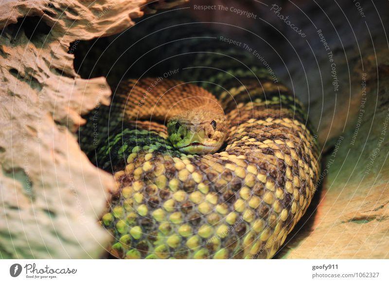 Schau mir in die Augen Tier Zufriedenheit Wildtier Zoo stagnierend Schlange Schuppen