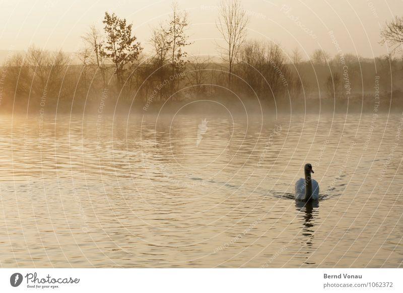 Guten Morgen! Natur Landschaft Luft Wasser Himmel Frühling Schönes Wetter Baum Sträucher Schwan Gefühle Stimmung Beginn Im Wasser treiben Flussufer Vogel orange