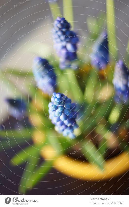 Vorbote schön Sonne Garten Pflanze Frühling Blume Blüte Terrasse Schmuck Kugel blau grün Blumentopf Weintrauben Traubenhyazinthe Hyazinthe Liliengewächse