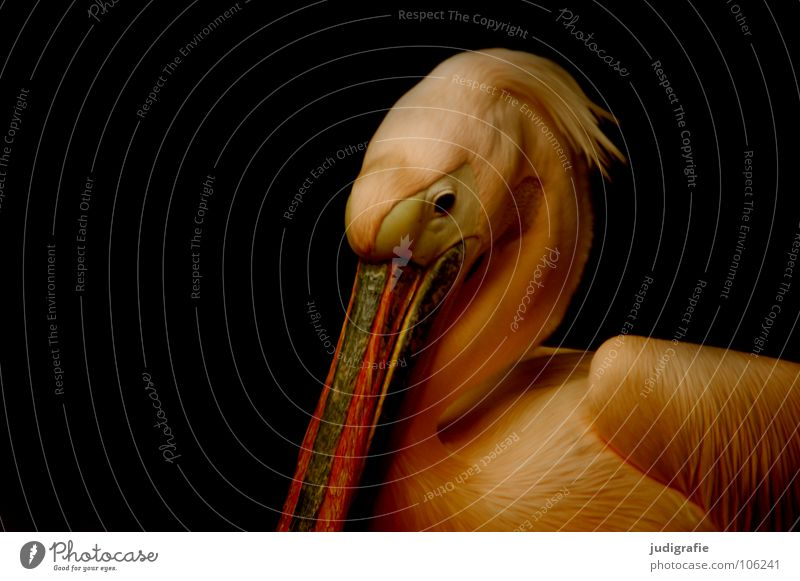 Pelikan schön ruhig Tier Auge Farbe Traurigkeit Vogel elegant Trauer Feder Flügel weich Zoo gefangen Schnabel