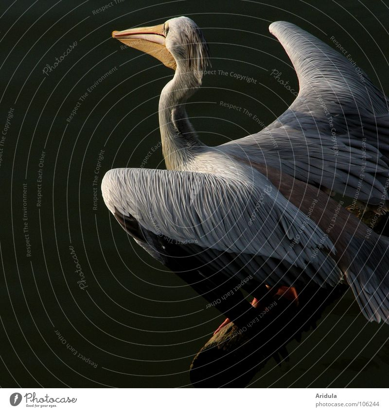 kurz vor sprung Natur Wasser schön weiß Tier See Vogel fliegen Feder Flügel Schnabel Pelikan