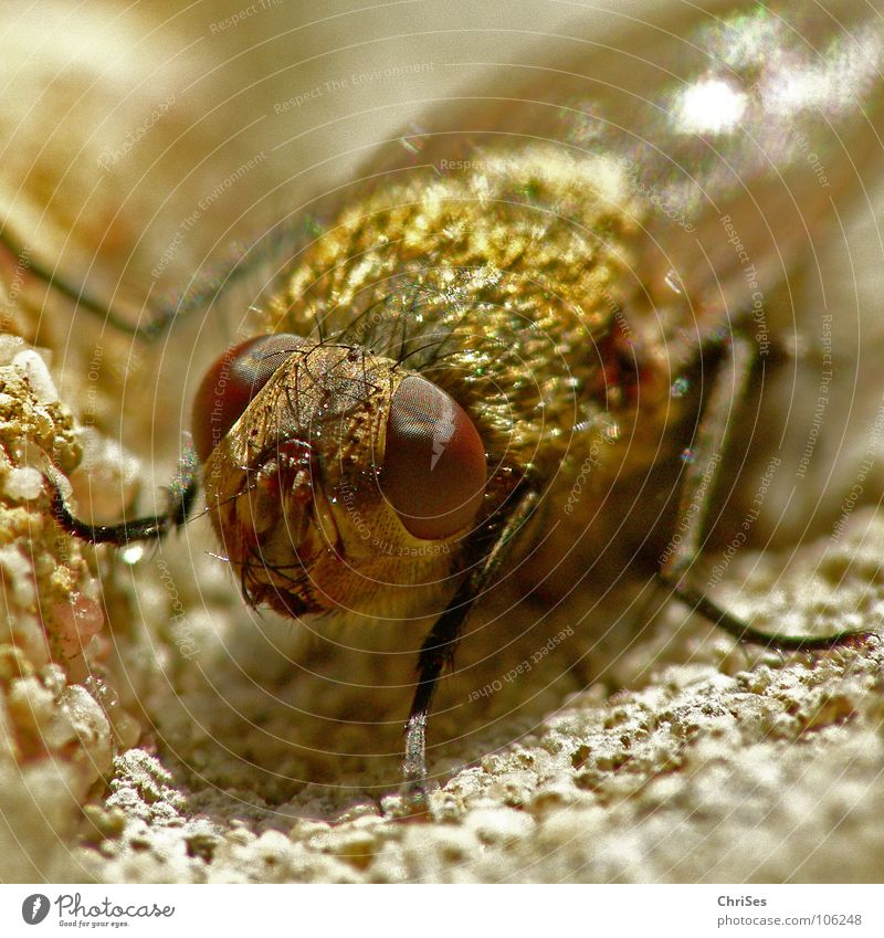Neulich an der Hauswand 01 (Schwebfliege) Auge Tier Wand Beine braun Metall Angst Fliege gold Flügel Insekt niedlich Panik Fühler frontal Schädlinge