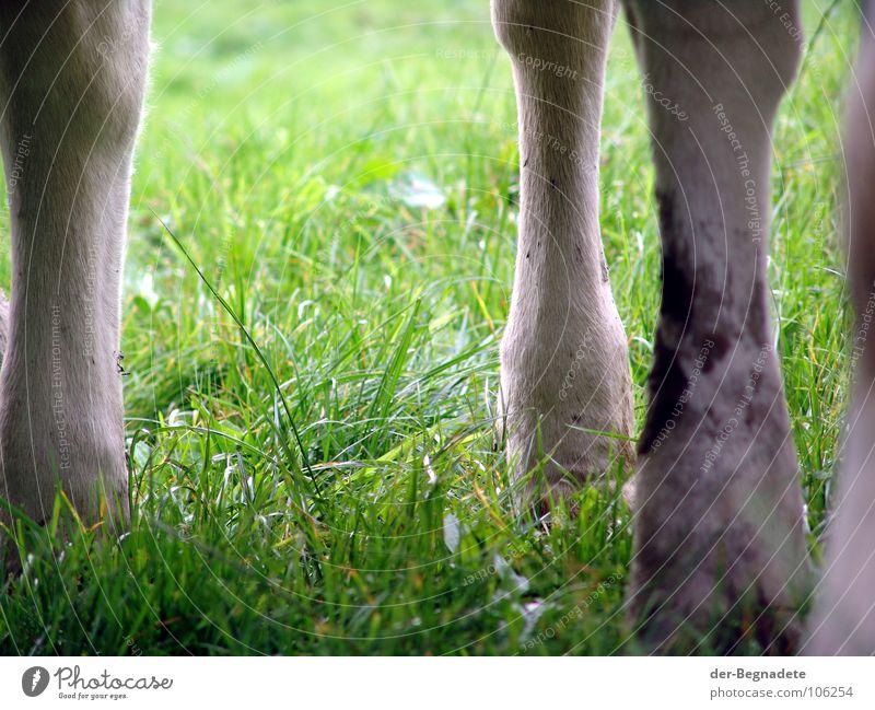 Kuhfüße grün Tier Wiese Haare & Frisuren Beine dreckig Fell Landwirtschaft Bauernhof Weide Kuh Säugetier Rind Krallen Vieh Tierhaltung