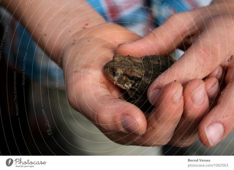Hände hoch! Kröten her! Spielen Kind Junge Kindheit Hand Finger Natur Tier entdecken fangen festhalten dreckig hässlich Neugier braun grün Amphibie forschen