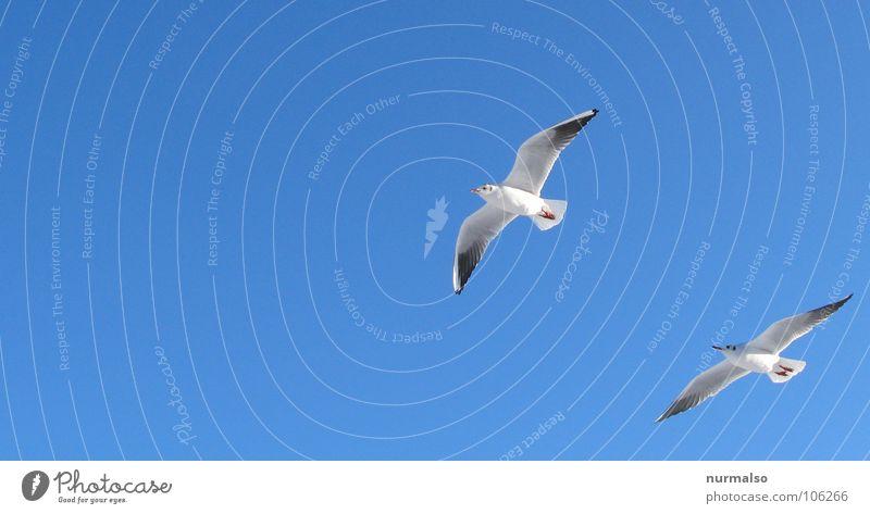 der Verfolger Möwe Vogel Zusammensein Segeln weiß vorwärts Strand Küste Glücksschiss blau Freiheit oben uns fliegen Freiheitsdrang paarweise Tierpaar Kot