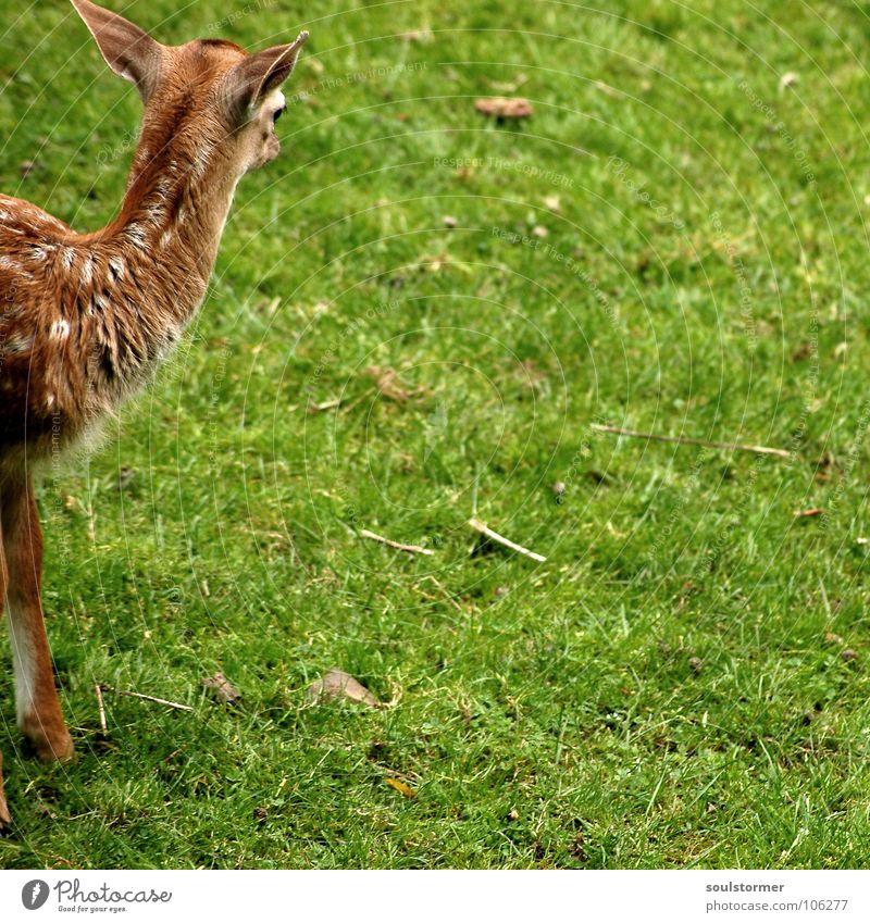 Kleinwild Kopf Reh Hirsche klein frisch Wiese Feld Waldlichtung Flur Halm Gras grün braun weiß Rehkitz Huf Säugetier Wildtier Rasen Fleck Beine Fuß Rücken Hals