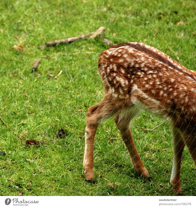 Kleinwild Hintern BildNo150!!! Reh Hirsche klein frisch Wiese Feld Waldlichtung Flur Halm Gras grün braun weiß Rehkitz Huf Hinterteil Schwanz Säugetier Wildtier