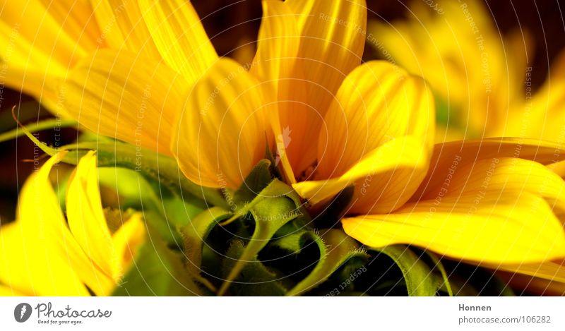 Sun In The Dark IV Natur schön Pflanze Sommer schwarz gelb dunkel Feld Wachstum Ernte Sonnenblume Erdöl Samen Kerne Biologie Vase