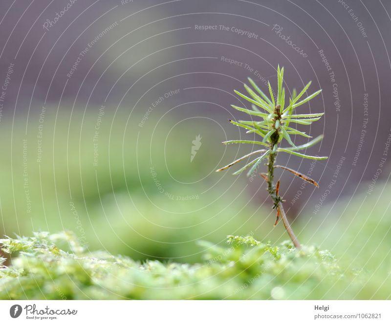 neues Leben... Natur blau Pflanze grün Baum Landschaft Wald Umwelt Frühling natürlich grau klein Wachstum frisch authentisch