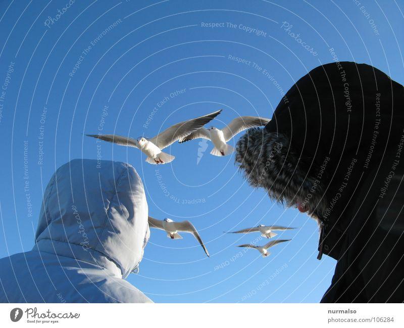 die Beobachter Natur blau Winter kalt Paar 2 Vogel Luftverkehr Klarheit Fell 5 Schönes Wetter Möwe Kapuze füttern Schwarm