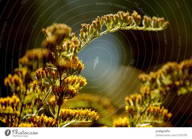 Wiese Natur schön Pflanze Sommer gelb Farbe Herbst Wiese Blüte glänzend Umwelt gold Wachstum gedeihen Heilpflanzen Unkraut