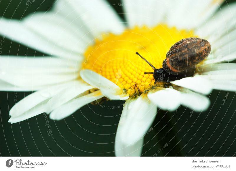 ne Schnecke Schneckenhaus Haus Blüte Blume weiß gelb Blütenblatt Bewegung langsam krabbeln Wiese Blumenwiese Makroaufnahme Nahaufnahme Sommer Natur