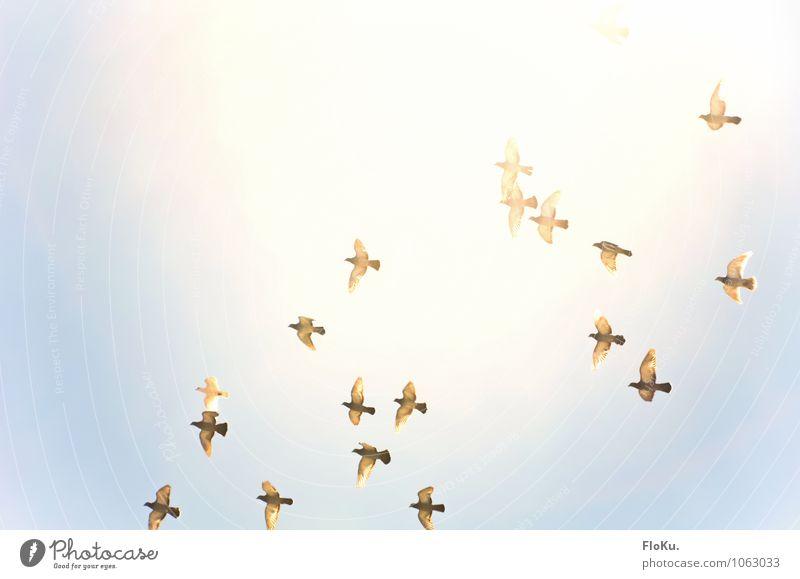 Sungrazer Umwelt Tier Himmel nur Himmel Wolkenloser Himmel Sonne Sonnenlicht Wildtier Vogel Taube Tiergruppe Schwarm fliegen Jagd frei Farbfoto Außenaufnahme