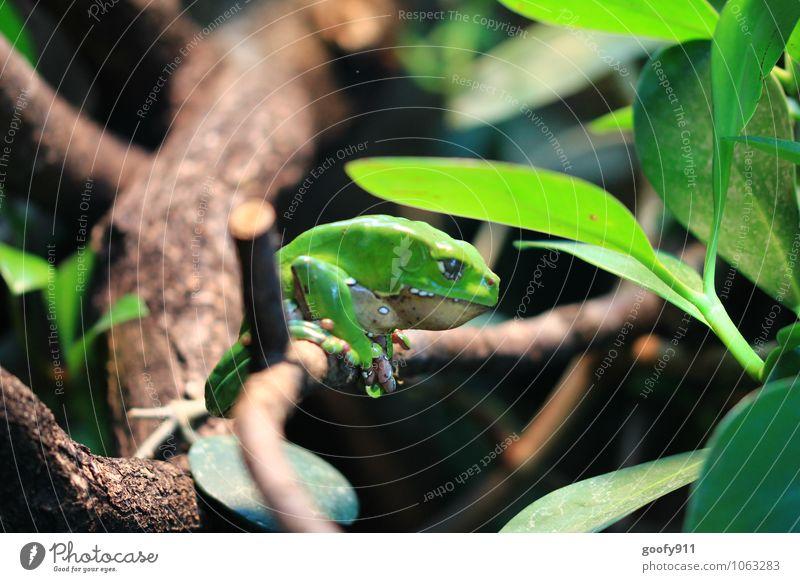 Grüner Frosch Natur Pflanze Tier Wildtier Zoo 1 hängen grün Farbfoto Außenaufnahme Nahaufnahme Morgen Schwache Tiefenschärfe Zentralperspektive Tierporträt