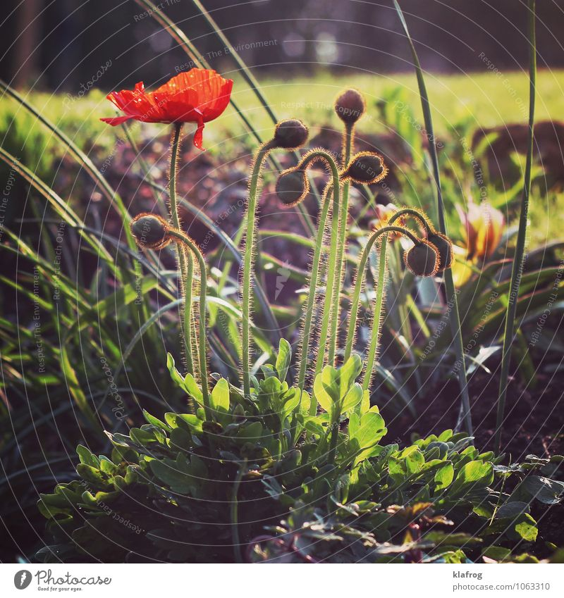 Don't Mohn about it... Garten Natur Pflanze Gras Blüte Wiese Zeichen Menschlichkeit Hoffnung demütig Erschöpfung Erinerung Andenken Krieg Energie verlieren