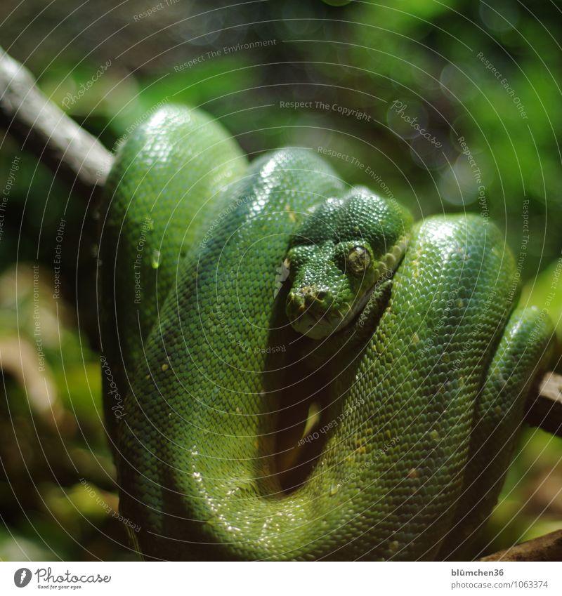 Einfach mal abhängen Tier Wildtier Schlange Tiergesicht Schuppen Reptil beobachten warten außergewöhnlich exotisch muskulös natürlich grün unberechenbar Blick