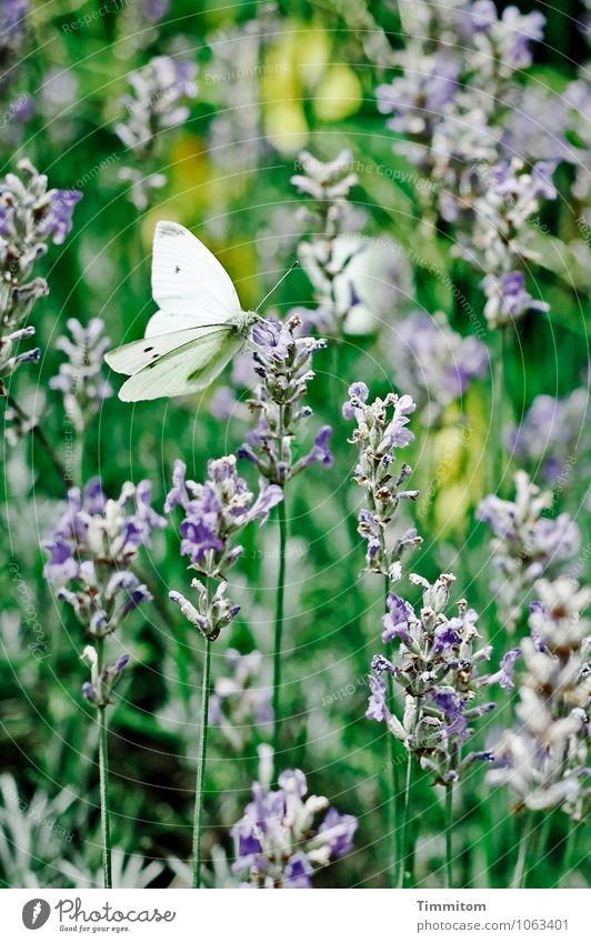 Bald wieder! Umwelt Natur Pflanze Tier Sommer Schönes Wetter Lavendel Garten Schmetterling Kohlweißling 1 ästhetisch natürlich blau grün Gefühle Lebensfreude