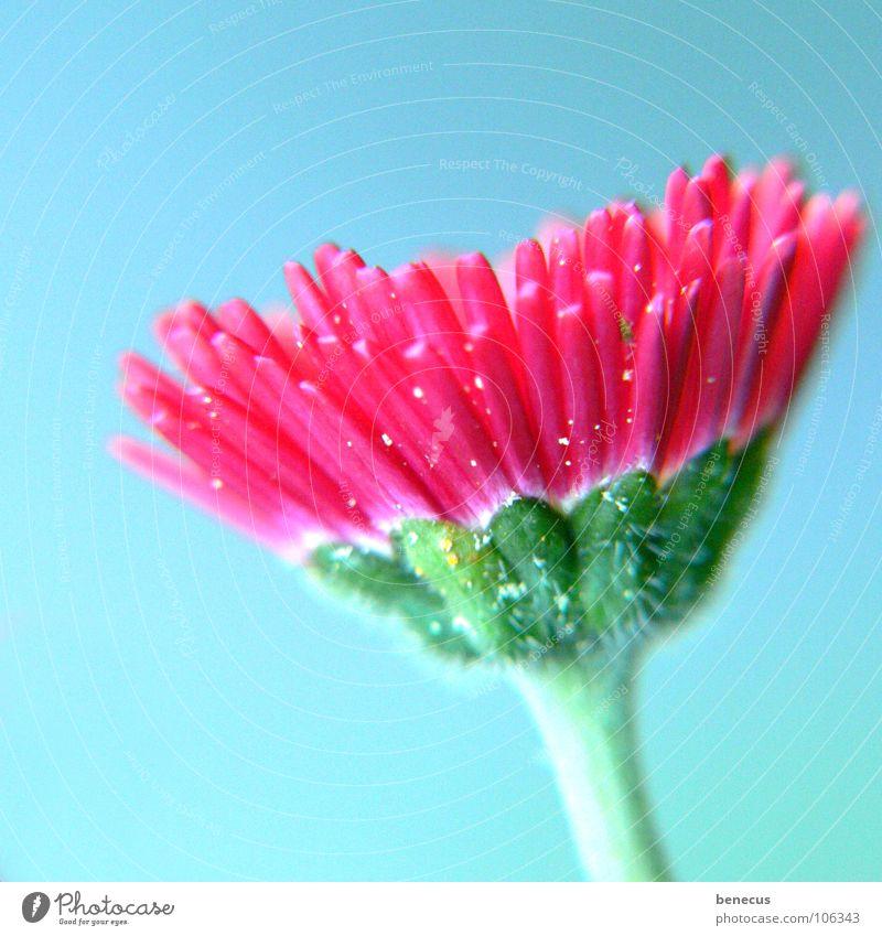 Bellis perennis grün schön Pflanze Blume Einsamkeit Farbe Leben Haare & Frisuren Garten Blüte Stil Frühling rosa frisch Wachstum Blühend