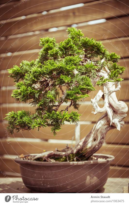 BONSAI! Design exotisch Handwerk Kultur Natur Pflanze Baum alt Wachstum ästhetisch außergewöhnlich natürlich retro braun grün Stimmung Leidenschaft geduldig