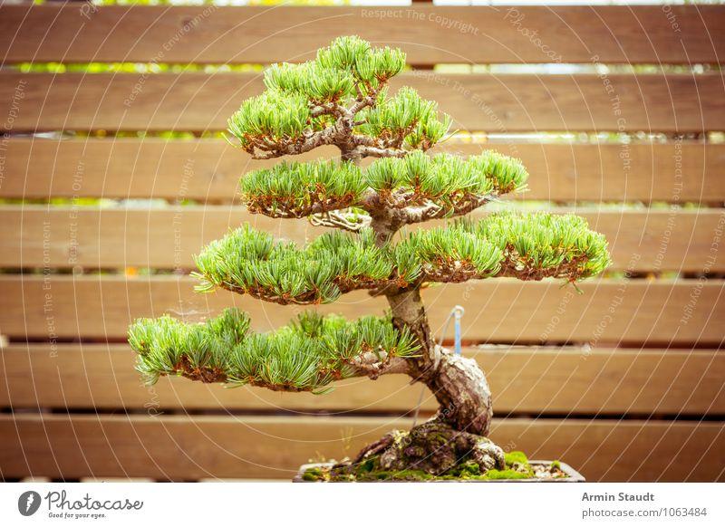 BONSAI! Design exotisch Handwerk Kultur Natur Pflanze Baum alt Wachstum ästhetisch außergewöhnlich natürlich braun grün Stimmung Leidenschaft geduldig Senior