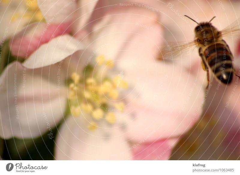 Bee placid 2/4 Pflanze weiß Tier Bewegung Wiese Blüte natürlich Essen Garten fliegen rosa Park Klima Geschwindigkeit Flügel Beginn