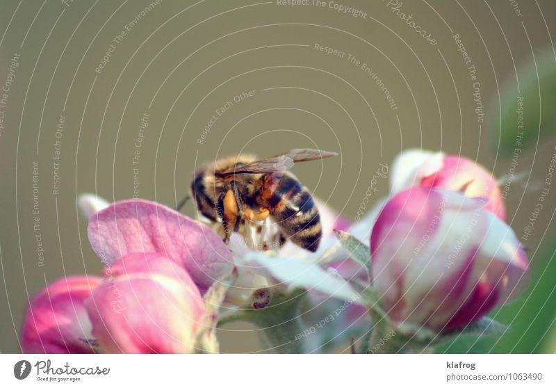 Bee placid (4/4) Pflanze grün Wiese Blüte Frühling Garten rosa Park Wachstum Flügel Blühend Duft Biene Sammlung Pollen Nervosität